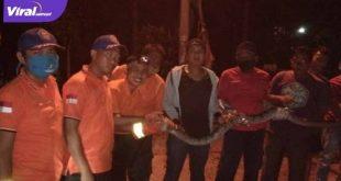 Petugas BPBD Prabumulih mengevakuasi ular piton di rumah warga. FOTO : VIRALSUMSEL.COM